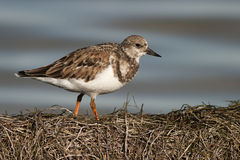 Ruddy Turnstones Stock Images