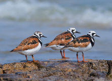 Ruddy Turnstones Royalty Free Stock Image