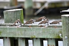 Ruddy Turnstones Royalty Free Stock Photography