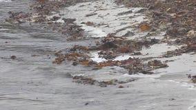 Ruddy Turnstones feeding in Orkney, Scotland. A group of Ruddy Turnstones feeding in Orkney, Scotland stock footage