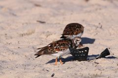 Ruddy Turnstones With Litter Royaltyfri Bild