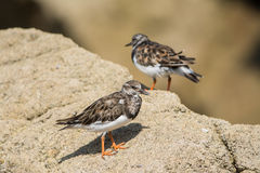 Ruddy turnstones Royalty Free Stock Photo