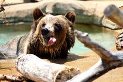 Rude Bear Stock Image