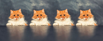 Rude cat on Royalty Free Stock Photo