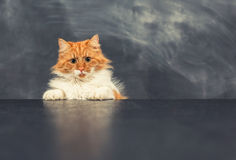 Rude cat on black table. Looking at camera Royalty Free Stock Image