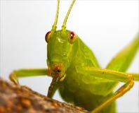 Rude katydid. A katydid on a twig, apparently making a rude gesture Stock Photos