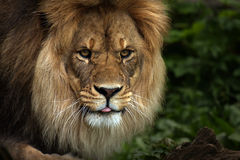 Rude Lion. Closeup of a male Lion sticking his tongue out at you Royalty Free Stock Photos