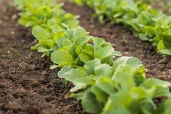 Rudern Sie junge Rettiche in einem Gemüsebett des Gartens lizenzfreies stockfoto