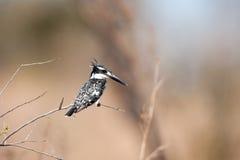 rudis kingfisher ceryle pied Стоковые Изображения