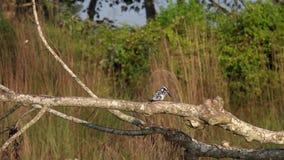 Rudis pezzati del Ceryle dell'uccello del martin pescatore che si siedono sul ramo di albero stock footage