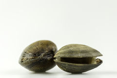 Ruditapes philippinarum, an edible species of saltwater clam. Stock Photos