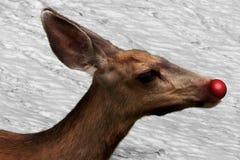 Rudolf el reno con la nariz roja Imagen de archivo libre de regalías