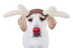 Rudolph Reindeer Fotografia Stock Libera da Diritti