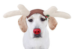 Christmas Rudolph Reindeer Royalty Free Stock Photography