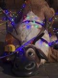 Rudolph rozbija fotografia royalty free