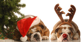 Rudolph and santa dogs. Bulldog santa and bulldog rudolph under christmas tree Stock Photography