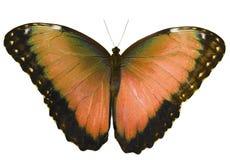 Rudopomarańczowy motyl odizolowywający na białym tle z rozciągniętymi skrzydłami Obrazy Stock