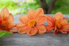 Rudopomarańczowy dakhlia na szarym drewnianym stole w ogrodowym tle w letnim dniu Obrazy Royalty Free