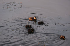 Rudy duck female and ducklings Stock Photo