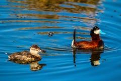 Rudy ducks, Frank Lake, Alberta, Canada. A male and female rudy take take a swim around the lake Stock Photos