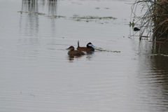 Rudy Ducks Stock Photo