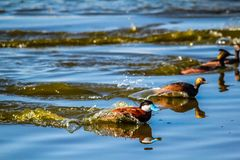 Rudy ducks, Frank Lake, Alberta, Canada. Rudy ducks race a pair of eared grebes on thew open water Royalty Free Stock Images