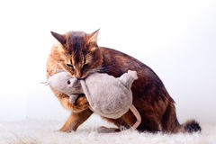 Rudy somali cat. Playing with plush rat Stock Photography