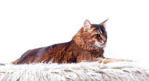 Rudy somali cat. Laying on white fur carpet Royalty Free Stock Photography