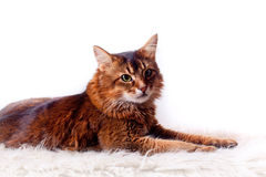 Rudy somali cat. Laying on white fur carpet Royalty Free Stock Photo