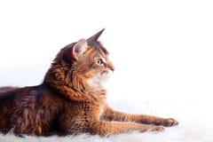 Rudy somali cat. Laying on white fur carpet Royalty Free Stock Images
