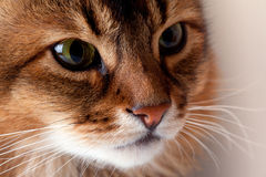 Rudy Somali Cat Portrait Royalty Free Stock Photography