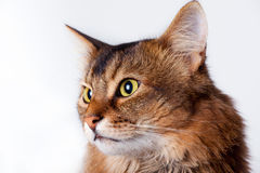 Rudy Somali Cat Portrait Stock Photography
