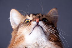 Rudy somali cat portrait. On a dark grey background Royalty Free Stock Photography