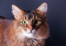 Rudy somali cat portrait. On a dark grey background Stock Photography