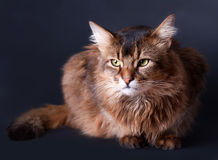 Rudy somali cat portrait. On a dark grey background Stock Images