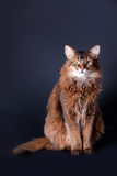 Rudy somali cat portrait. Rudy somali cat sitting on a dark grey background Stock Photo