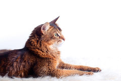 Rudy-somalische Katze lizenzfreie stockbilder