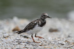 Rudy Turnstone. Candelaria Lagoon, Cabo Rojo, Puerto Rico Stock Images