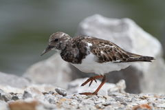 Rudy Turnstone Stock Foto