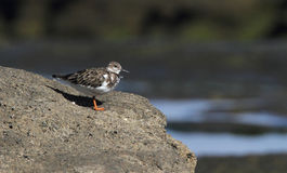 Rudy Turnstone Royalty Free Stock Image