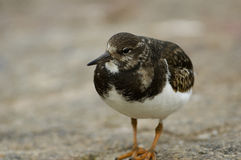Rudy Turnstone Stock Images