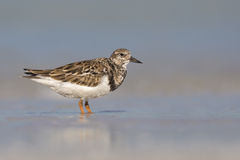 Rudy Turnstone (Arenaria interpes) Stock Photography