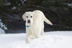 Rudy the Yellow Lab in the Snow. Rudy the Yellow Labrador Retriever walking in the heavy winter snow Royalty Free Stock Photo