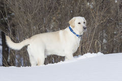 Rudy the Yellow lab standing in snow with face full of snow. Rudy the Yellow lab standing in snow with face full of fresh snow Royalty Free Stock Photo