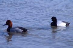 Rudzielec i Lesser Scaup samiec kaczki zdjęcie stock