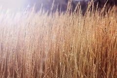 Rudzielec jesieni pola trawa zdjęcie stock