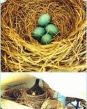 Rudzików jajka obraz stock