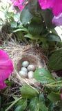 Rudzików jajka W gniazdeczku Obrazy Royalty Free