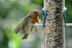 Rudzik czerwona pierś przy ptasim dozownikiem Zdjęcie Royalty Free