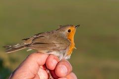 Rudzik, Erithacus rubecula, ptak w kobiety ręce dla ptasi skrzyknąć Obrazy Royalty Free